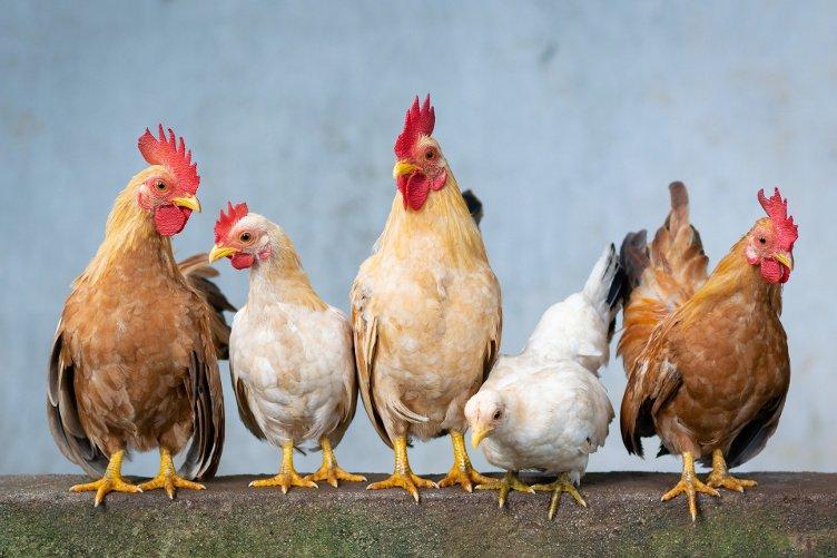 grypa ptaków